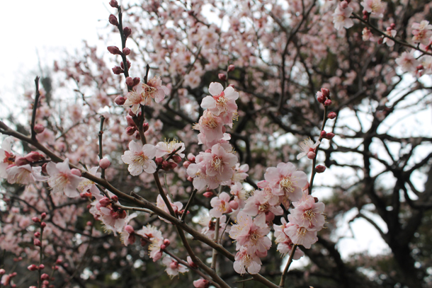 Sweet Monday, Tokyo, Japan, blossom