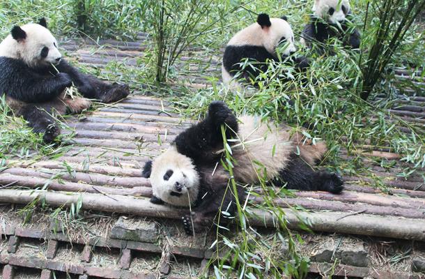 Giant Panda, Chengdu, China, Chengdu Panda Sanctuary