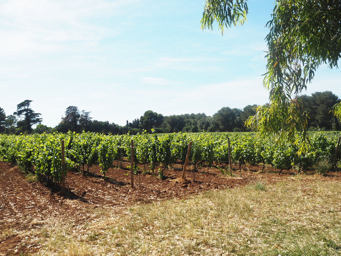 Île Saint-Honorat vineyards