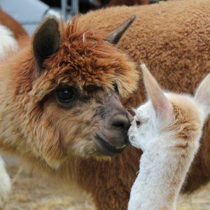 Meet Alpacas NOTHS