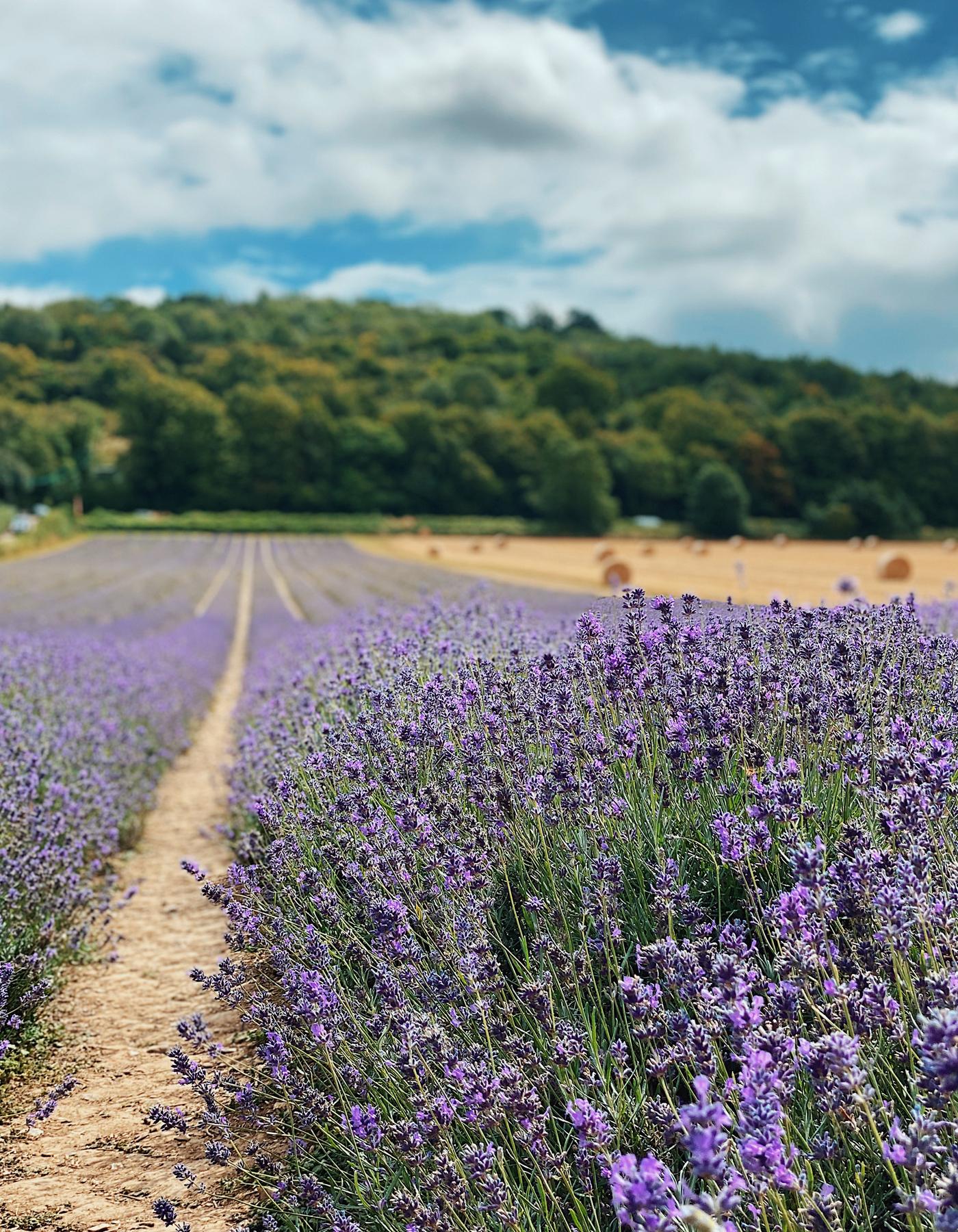 Castle Farm Lavender Field